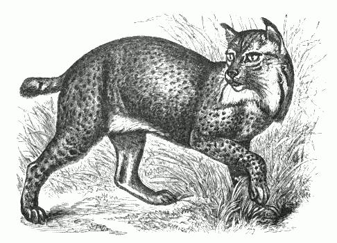 http://www.k1ka.be/pics/lynx/Northern_Lynx_(f__maculata).png
